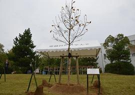 植樹した樹木(シデコブシ)